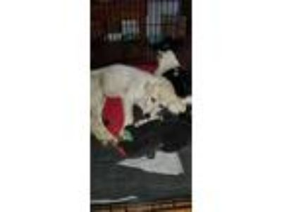 Adopt Starr a Great Pyrenees