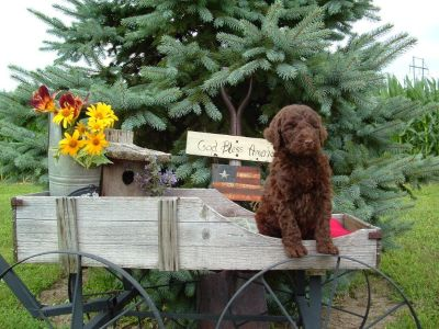 Stunning CKC Multi-Generational Labradoodles Accepting Deposits to hold your pick!