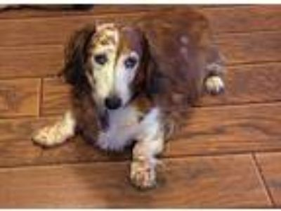 Adopt Oliver a Red/Golden/Orange/Chestnut - with White Dachshund / Mixed dog in