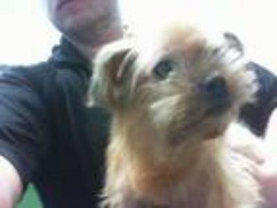 Adopt ABBY a Shih Tzu, Yorkshire Terrier
