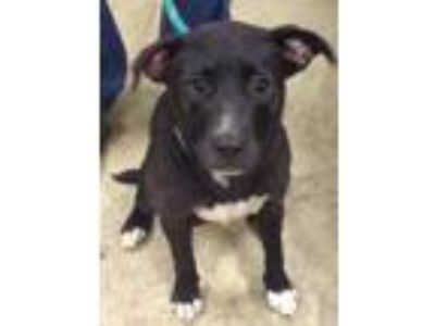 Adopt Malinda a Labrador Retriever, Border Collie