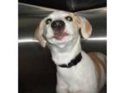 Adopt Female #2 a White Labrador Retriever / Beagle / Mixed dog in Clinton