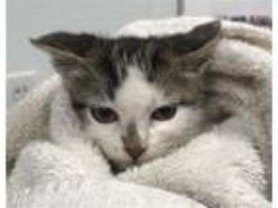 Adopt Calvin a Domestic Shorthair / Mixed cat in Madison, NJ (25923519)