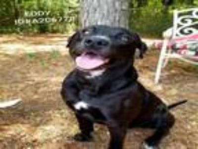 Adopt EDDY a Labrador Retriever, Mixed Breed