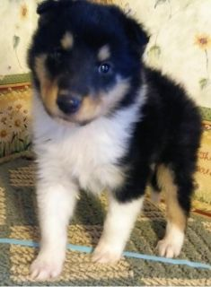 Border collie puppies available........