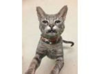 Adopt RUGER a Domestic Short Hair
