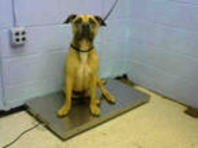 Adopt MASCOTTO a Brown/Chocolate - with Black Bullmastiff / Mixed dog in