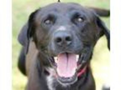Adopt Sully a Black Labrador Retriever