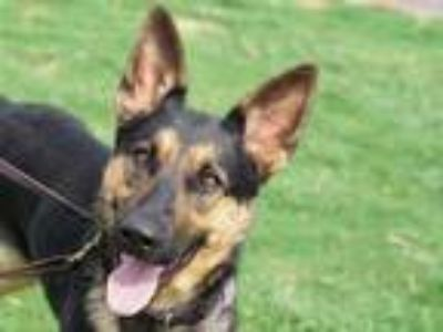 Adopt Bailey a Black Shepherd (Unknown Type) / Mixed dog in Georgetown