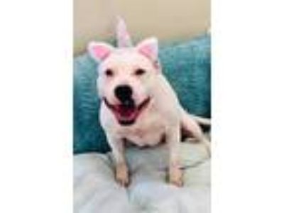 Adopt a White - with Black American Pit Bull Terrier / Mixed dog in Pasadena