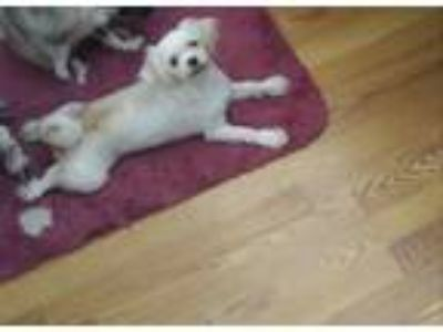 Adopt koko a White - with Brown or Chocolate Shih Tzu dog in Jacksonville