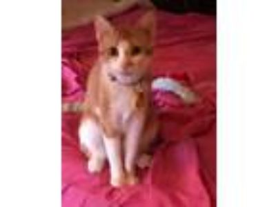 Adopt Taffy a Orange or Red Domestic Shorthair (short coat) cat in Davenport