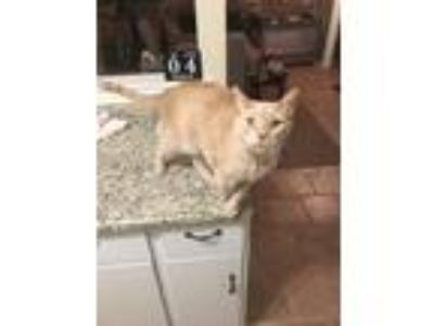Adopt Max a Tan or Fawn American Wirehair cat in Westampton, NJ (25064390)