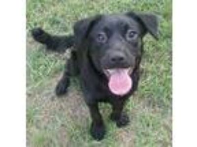 Adopt Ashley a Black Labrador Retriever / Chow Chow dog in Orangeburg