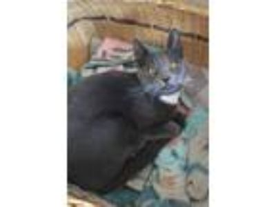 Adopt Mustang a Gray or Blue (Mostly) Domestic Shorthair / Mixed cat in Mount