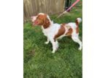 Adopt TN/Jake a Red/Golden/Orange/Chestnut - with White Brittany / Mixed dog in