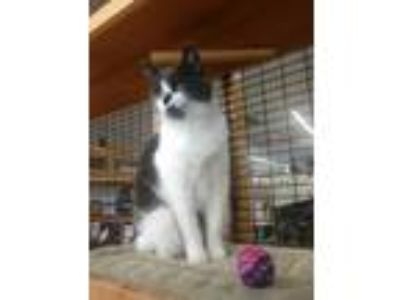 Adopt Lady Jane a Domestic Short Hair