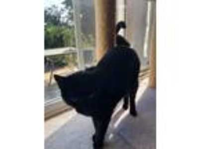Adopt Cocoa a All Black Domestic Mediumhair / Mixed cat in Streetsboro