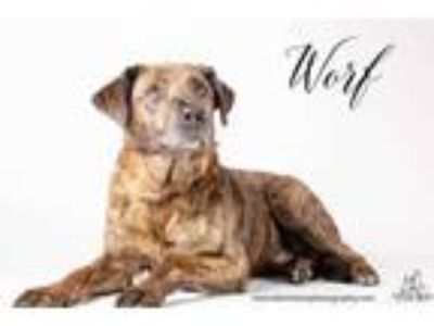 Adopt Worf a Black German Shepherd Dog / Retriever (Unknown Type) / Mixed dog in