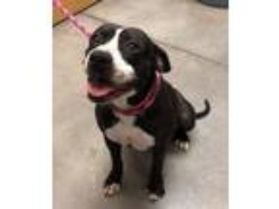 Adopt Rosie a Pit Bull Terrier / Mixed dog in El Paso, TX (24879149)
