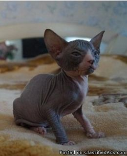 Healthy sphynx kittens Male and female Available