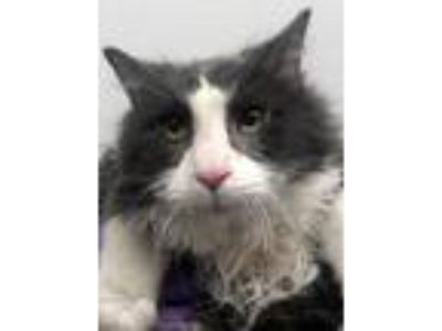 Adopt Willie a Gray or Blue (Mostly) Domestic Mediumhair (medium coat) cat in