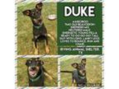 Adopt Duke a Black Doberman Pinscher / Mixed dog in Irving, TX (25487225)