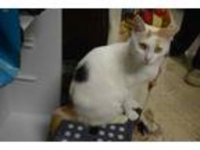 Adopt Mercedes a Calico or Dilute Calico Domestic Shorthair (medium coat) cat in