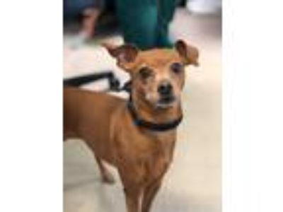 Adopt CARLY a Red/Golden/Orange/Chestnut Miniature Pinscher / Mixed dog in