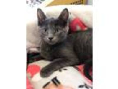 Adopt Blanche a Gray or Blue Domestic Shorthair cat in Palatine, IL (25579953)