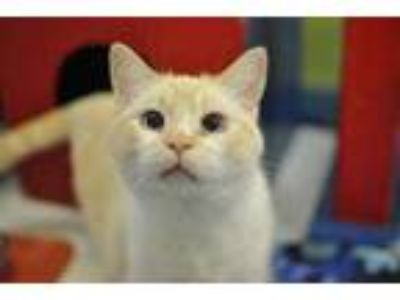 Adopt Gordo a Cream or Ivory Siamese / Domestic Shorthair / Mixed cat in