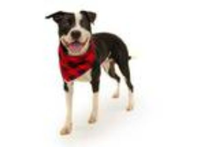 Adopt *TURBO a Black - with White American Pit Bull Terrier / Border Collie /