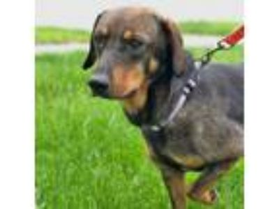 Adopt Lacey a Hound (Unknown Type) dog in Palatine, IL (25332480)