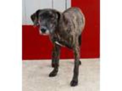 Adopt Adele a Plott Hound, Mixed Breed