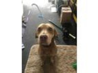 Adopt Rollie a Brown/Chocolate Catahoula Leopard Dog / Mixed dog in West Palm