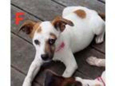 Adopt Delorean a White - with Brown or Chocolate Blue Heeler / Mixed Breed