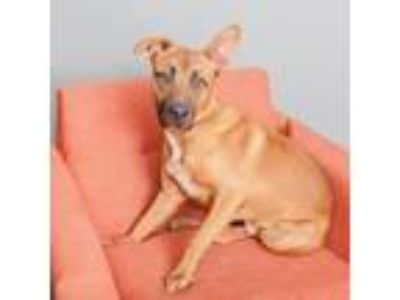 Adopt Justice a Brown/Chocolate - with White Shepherd (Unknown Type) / Mixed dog