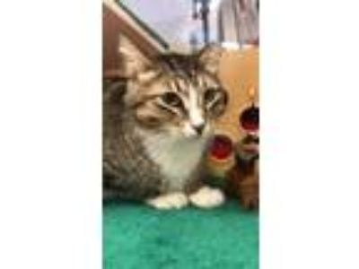 Adopt Madonna a Domestic Shorthair / Mixed cat in Stratham, NH (25301928)