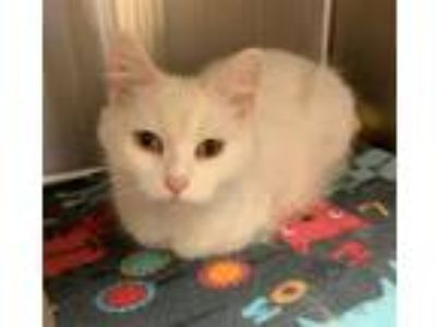 Adopt Mia a Domestic Mediumhair / Mixed cat in Sherwood, OR (25356520)