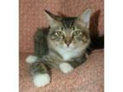 Adopt Mr Rae a Brown Tabby Maine Coon / Mixed (medium coat) cat in Attalla