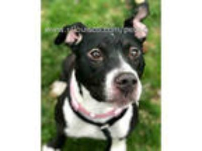 Adopt GEMINI a Black - with White American Pit Bull Terrier / Mixed dog in