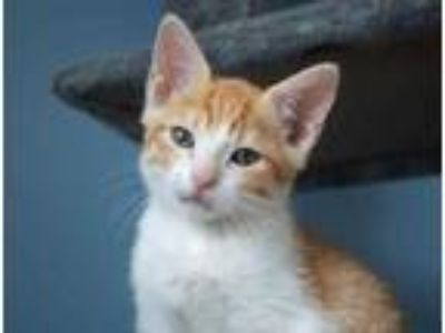 Adopt Goose a Orange or Red Domestic Shorthair / Domestic Shorthair / Mixed cat