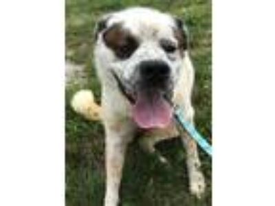 Adopt Bailey a White - with Black St. Bernard / Hound (Unknown Type) / Mixed dog