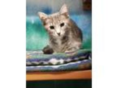 Adopt Donnie a Gray or Blue Domestic Shorthair / Domestic Shorthair / Mixed cat