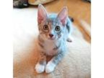 Adopt Sid a Gray, Blue or Silver Tabby Domestic Shorthair / Mixed (short coat)