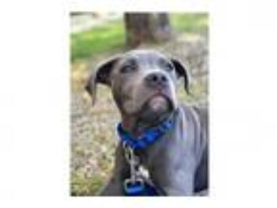 Adopt PUDGE a Pit Bull Terrier