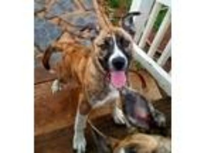 Adopt Rayna a Brindle - with White Husky / Boxer / Mixed dog in Goodlettsville