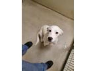 Adopt Hannah 13346 a White Labrador Retriever dog in Joplin, MO (25323463)