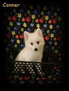 CKC Miniature American Eskimo Puppies