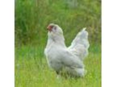 Adopt Sky a Purple/Violet Chicken bird in Manchester, CT (23568819)